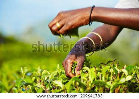 Hands of women from the tea plantation - selective focus - stock photo