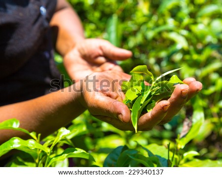 Hands of women from the tea plantation - Sri Lanka  - stock photo