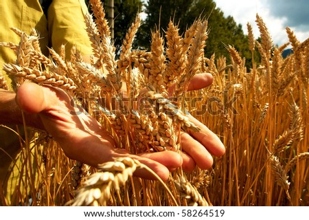 Hands on the golden wheat field - stock photo