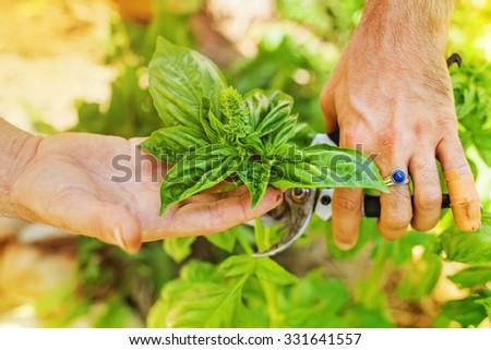 hands picking fresh leaves of basil - stock photo