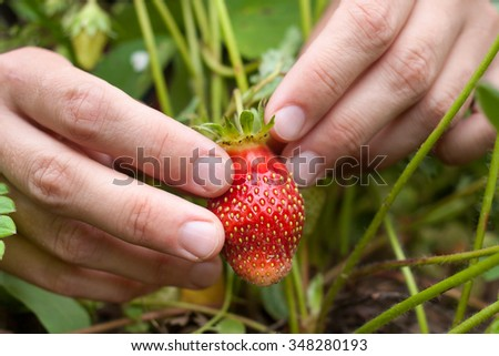 hands picking strawberries in the garden - stock photo