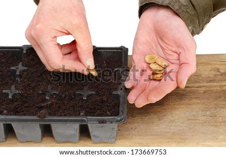 Beans Plant Hands Planting Broad Bean