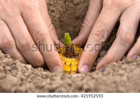 hands planting bulb of gladiolus, closeup - stock photo