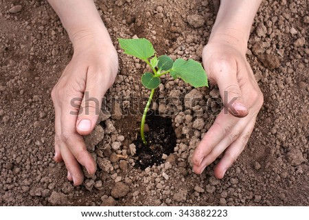 hands planting cucumber seedling - stock photo