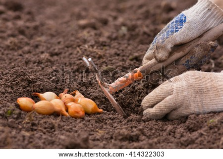 hands planting onion - stock photo