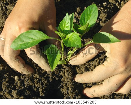 hands planting pepper seedlings into the ground - stock photo