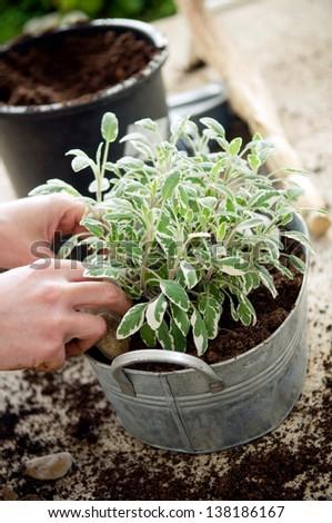 Hands planting sage in metal flower pot - stock photo