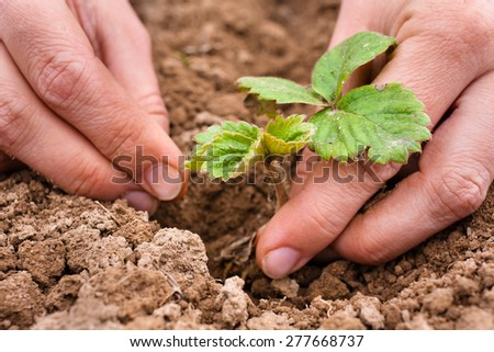 hands planting strawberry seedling, closeup - stock photo