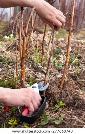 hands pruning raspberry with secateurs - stock photo