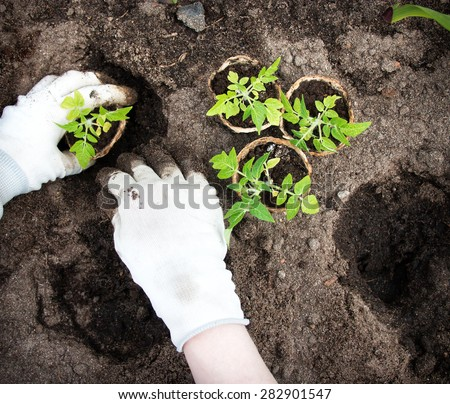 Hands putting tomato seedling into the soil - stock photo