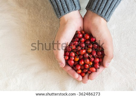 Hands the holding red berries of a dog rose. Hands the holding red berries. - stock photo