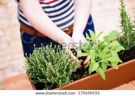 Hands transplanting sage on a pot with other aromatic herbs - stock photo