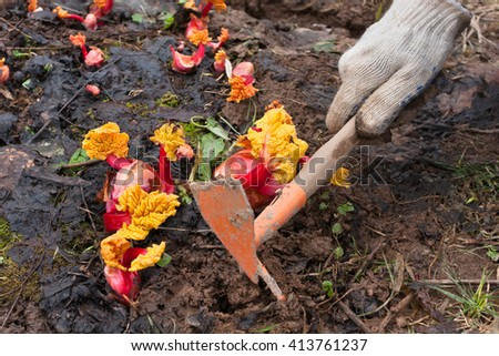 hands weeding garden bed with rhubarb - stock photo