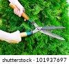 Hands with garden shears cut the green thuja. - stock photo