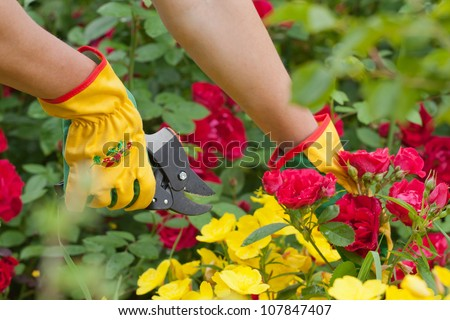 Hands with pruning shears. Rose pruning. Flower gardening. - stock photo