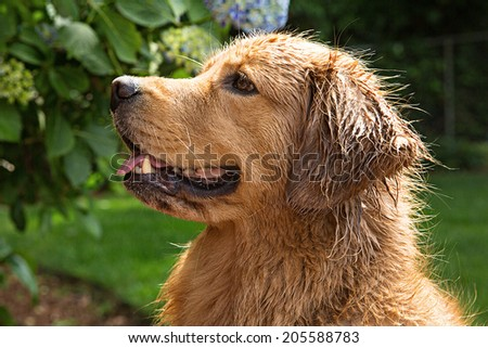 handsome golden retriever with wet fur - stock photo