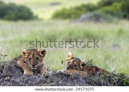 Handsome little lion cubs  resting on the top of termite mound in the savannah of Maasai Mara Natural reserve, Kenya, Africa - stock photo