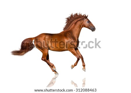 Handsome red horse with long mane run gallop - stock photo
