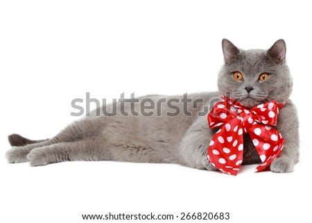 Handsome short hair gray British cat with red bow - stock photo