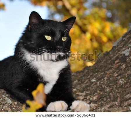 Handsome tuxedo cat with striking eyes surveying world from his tree - stock photo