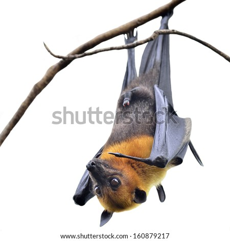 Hanging Flying Fox, big bat with open eyes in Halloween night isolated on white background - stock photo