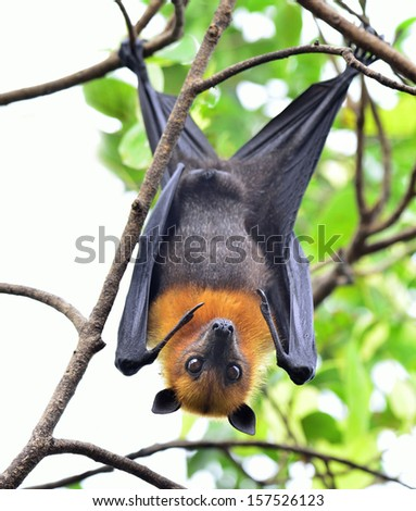 Hanging flying fox or big bat with big eyes opening while hanging on the tree branch - stock photo