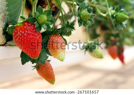 Hanging method of growing strawberries in greenhouses - stock photo