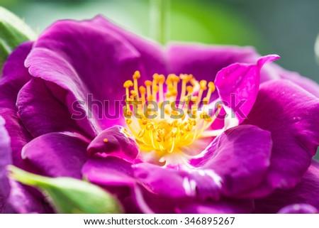 Hans Gonewein Rose or Violet Rose in Garden, Thailand. - stock photo