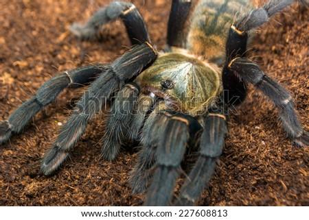 Haplopelma hainanum adult female tarantula fresh skin moult, this is why her colours are so brilliant. This arachnid has a white beard! - stock photo