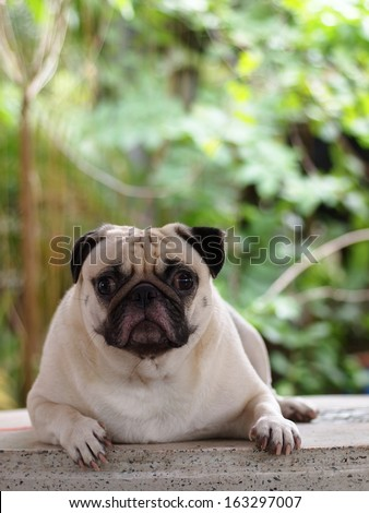 happy active white fat lovely pug dog making serious face, sadly face with expression of thinking, asking, waiting, and looking at the camera - stock photo