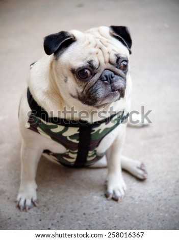 happy active white pug dog making funny serious face, wearing military pattern leash sitting on the gray color concrete garage floor outdoor under sunlight in good weather day - stock photo