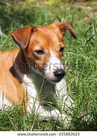 happy active young Jack Russel terrier dog white and brown color face and eyes close up with home outdoor surrounding making serious face under morning sunlight on green grass floor, good weather day - stock photo