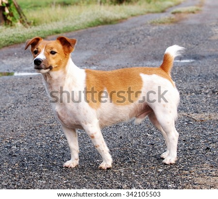 happy active young Jack Russel terrier dog white and brown color face and eyes close up with home outdoor surrounding making serious face under morning sunlight on country pathway, good weather day - stock photo