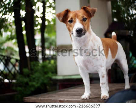 happy active young Jack Russel terrier dog white and brown playing around a house with home outdoor surrounding making serious face, ready to run and play under morning sunlight in good weather day  - stock photo