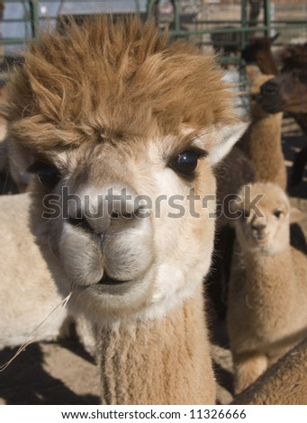 Happy Alpaca - stock photo