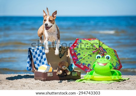 Happy american staffordshire terrier dog jumping over a suitcase full of things for summer holiday - stock photo