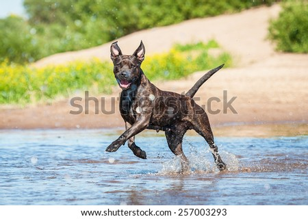 Happy american staffordshire terrier dog running in water  - stock photo