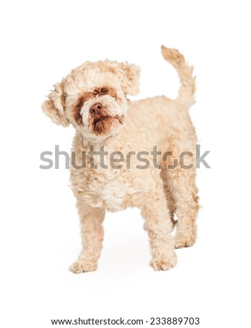 Happy and friendly geriatric Poodle Mix Breed Dog standing.  - stock photo