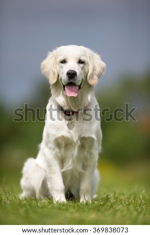 Happy and smiling Golden Retriever dog outdoors in the nature on a sunny summer day with the dog tongue sticking out. - stock photo