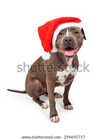 Happy and smiling grey color Pit Bull dog wearing a red Christmas Santa Claus hat - stock photo