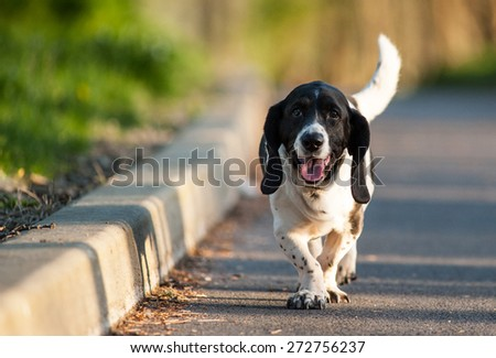 happy basset hound dog walking through the park path - stock photo