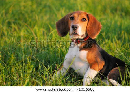 Happy beagle puppy dog in the meadow - stock photo