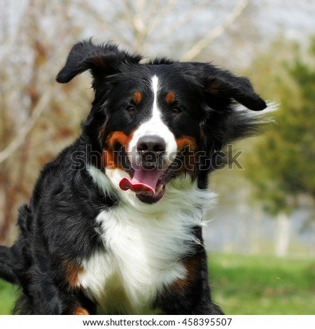 happy Beautiful Bernese mountain dog runs are fun in the summer outdoors, closeup portrait in motion - stock photo
