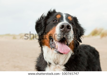 Happy berner sennen dog outdoors playing and running in dune landscape. Enjoying nature. Stormy day. - stock photo