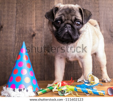 Happy Birthday Pug Puppy - stock photo