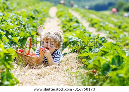 Happy blond little toddler child picking and eating strawberries on organic bio berry farm in summer, on warm sunny day. Harvest fields in Europe. - stock photo