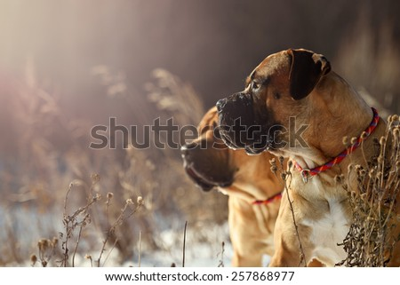 happy boerboels dog running outdoors winter - stock photo