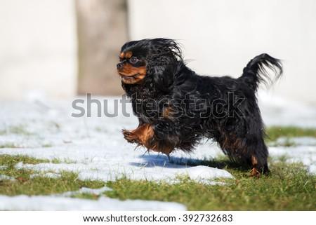 happy cavalier king charles spaniel dog - stock photo