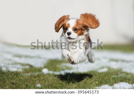 happy cavalier king charles spaniel puppy jumping - stock photo