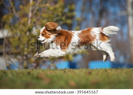 happy cavalier king charles spaniel puppy running outdoors - stock photo